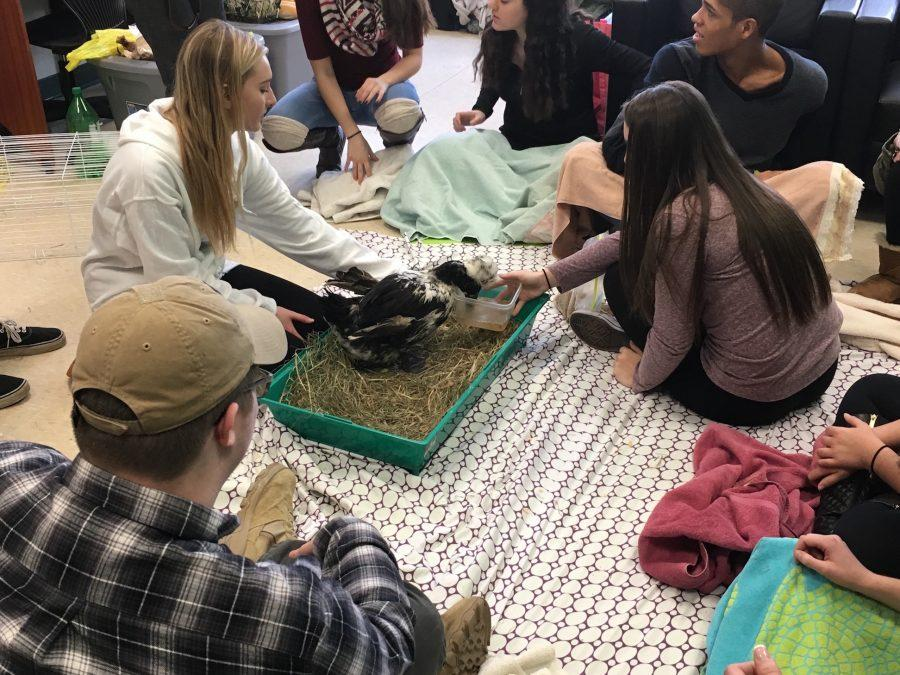 Several PV students gathered in the Wellness Center to meet and interact with several different Tevaland rescue animals during lunch. PAW raised money for Tevaland.
